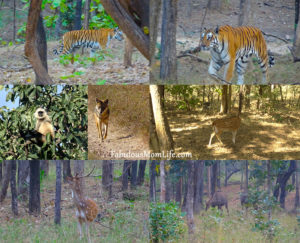 Animals spotted at a Pench Tiger Reserve Jungle Safari