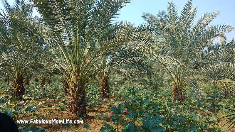 Date Palms at the Plantation